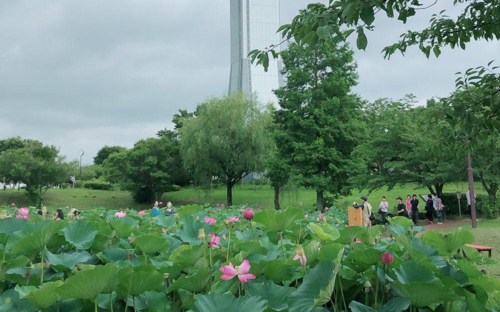 古代蓮の里へ見学ツアーへ行って来ました(*^▽^*)